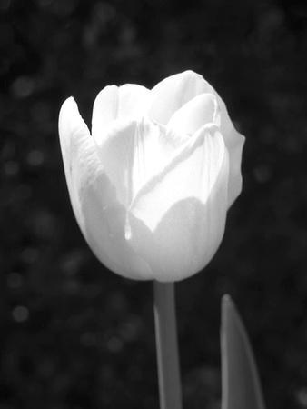 Single Open Tulip
