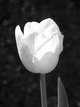 Single Open Tulip by Jeff Pica