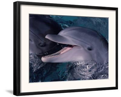 Bottlenose Dolphin (Tursiops Truncatus) Red Sea, Egypt