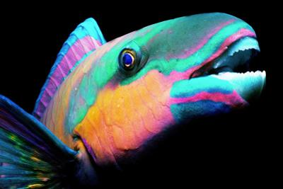 Bullethead Parrotfish (Scarus Sordidus)Night, Close-Up
