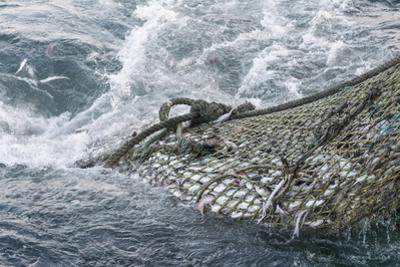 Dragger Net Full of Haddock (Melanogrammus Aeglefinus)