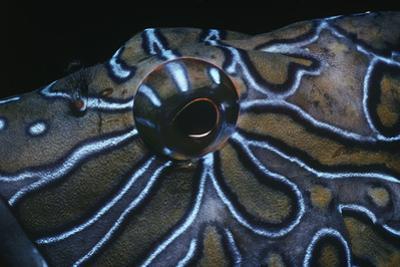 Eye of Heiroglyphic Hawkfish