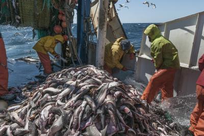 Fishermen Sorting Haddock (Melanogrammus Aeglefinus)