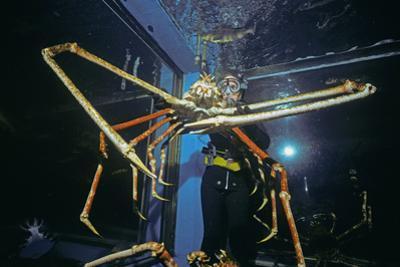 Japanese Giant Spider Crab (Macrocheira Kaempferi) World'S Largest Crustacean In Tokyo Aquarium