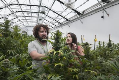 Man and Woman with Cannabis Plant in Organic Marijuana Farm, Pueblo, Colorado, USA, June 2015