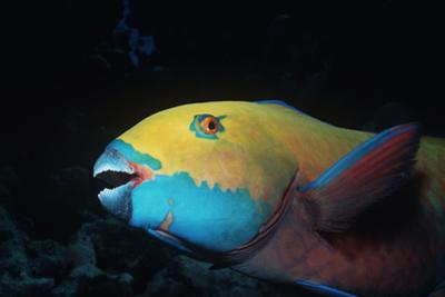 Steepheaded Parrotfish Face