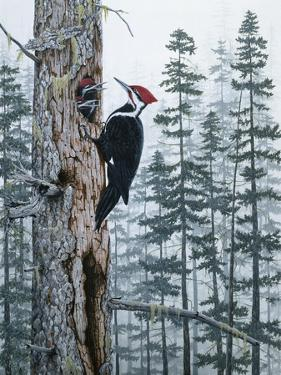 Piliated Woodpeckers by Jeff Tift