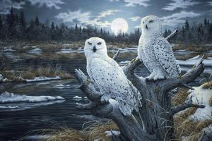 Snowy Owls by Jeff Tift