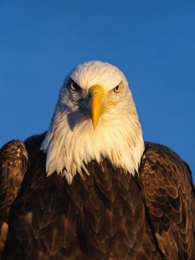 Bald Eagle by Jeff Vanuga