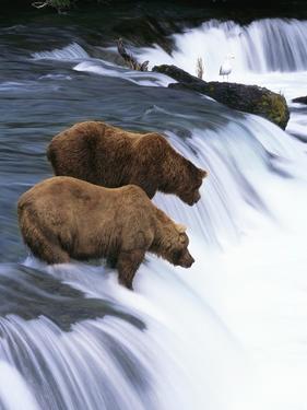 Brown Bears Fishing at Brooks Falls by Jeff Vanuga