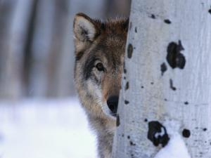 Gray Wolf Behind Aspen by Jeff Vanuga