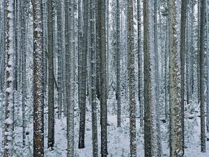 Lodgepole Pine Trees Frosted with Snow by Jeff Vanuga