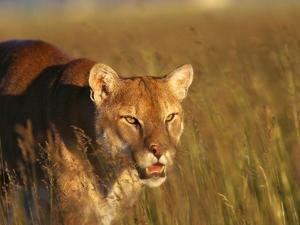 Mountain Lion Roaming in Field by Jeff Vanuga