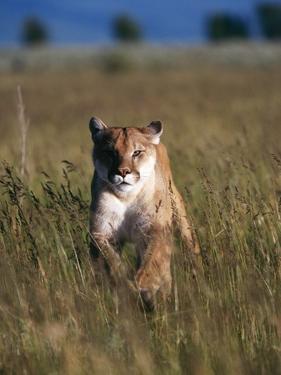 Mountain Lion Running in Field by Jeff Vanuga