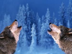 Pair of Howling Gray Wolves by Jeff Vanuga