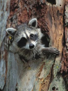 Raccoon Inside Hollow Log by Jeff Vanuga
