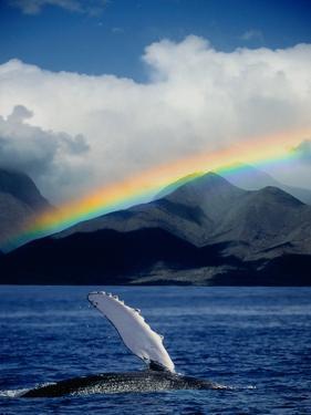 Rainbow over Breaching Humpback Whale by Jeff Vanuga