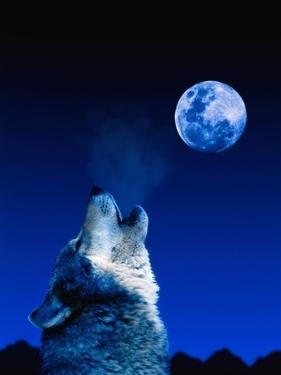 Wolf Howling at the Moon by Jeff Vanuga