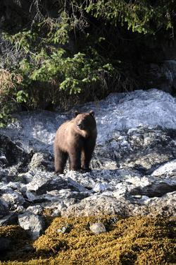 A Grizzly Bear, Ursus Arctos, Foraging on a Rocky Shore by Jeff Wildermuth