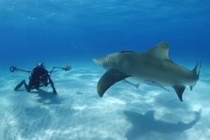 A Lemon Shark with a Few Remora Fish, Swimming Towards a Photographer by Jeff Wildermuth