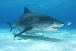 A Remora and Other Small Fish Swimming with a Tiger Shark, Galeocerdo Cuvier by Jeff Wildermuth