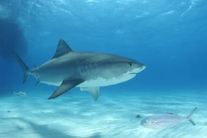 A Remora Following a Tiger Shark, Galeocerdo Cuvier, as Another Fish Swims Past by Jeff Wildermuth