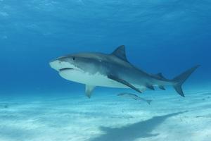 A Remora Swimming Underneath a Tiger Shark, Galeocerdo Cuvier by Jeff Wildermuth