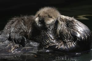 A Sea Otter, Enhydra Lutris, Grooming Her Pup by Jeff Wildermuth