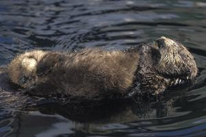A Sea Otter Pup, Enhydra Lutris, Resting on its Mother's Stomach in a Kelp Bed by Jeff Wildermuth