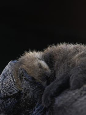 A Sea Otter Pup, Enhydra Lutris, Resting on its Mother's Stomach by Jeff Wildermuth
