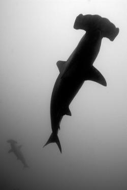 A Silhouetted Scalloped Hammerhead Shark, Sphyrna Lewini, Swimming by Jeff Wildermuth