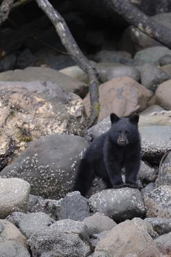 An American Black Bear Cub, Ursus Americanus, Foraging on a Rocky Shore by Jeff Wildermuth