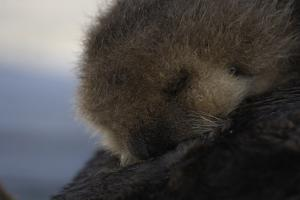 Close Up of a Sea Otter Pup, Enhydra Lutris, Nursing by Jeff Wildermuth