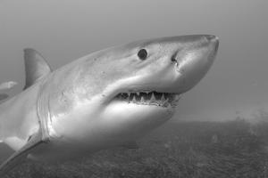 Close Up Portrait of a Great White Shark, Carcharodon Carcharias by Jeff Wildermuth