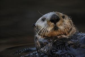 Close Up Portrait of a Sea Otter, Enhydra Lutris, Floating on its Back by Jeff Wildermuth