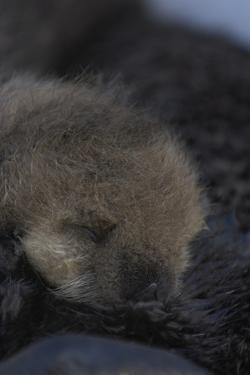 Close Up Portrait of a Sea Otter Pup, Enhydra Lutris, Nursing by Jeff Wildermuth