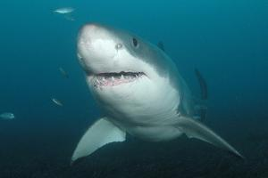 Head-On Portrait of a Great White Shark, Carcharodon Carcharias, Swimming by Jeff Wildermuth