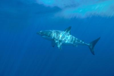 Portrait of a Female Great White Shark, Carcharodon Carcharias, Swimming in Dappled Sunlight by Jeff Wildermuth