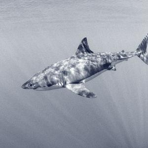 Portrait of a Female Great White Shark, Carcharodon Carcharias, Swimming in Rays of Sunlight by Jeff Wildermuth