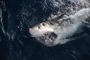 Portrait of a Great White Shark, Carcharodon Carcharias, Surfacing with its Mouth Open by Jeff Wildermuth