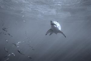Portrait of a Great White Shark, Carcharodon Carcharias, Swimming Near Bait Fish by Jeff Wildermuth