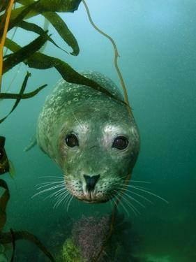 Portrait of a Harbor Seal by Jeff Wildermuth