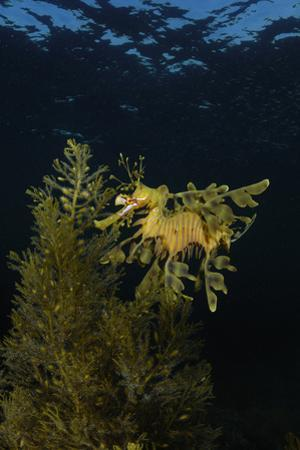 Portrait of a Leafy Seadragon, Phycodurus Eques, Among Feathery Seaweeds
