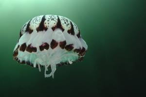 Portrait of a Purple-Striped Jellyfish, Chrysaora Colorata, Swimming by Jeff Wildermuth