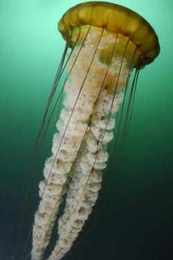 Portrait of a Sea Nettle Jellyfish, Chrysaora Species by Jeff Wildermuth