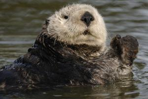 Portrait of a Sea Otter, Enhydra Lutris, Floating in Water by Jeff Wildermuth