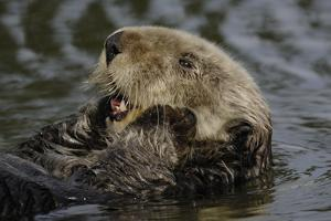 Portrait of a Sea Otter, Enhydra Lutris, Floating on its Back by Jeff Wildermuth