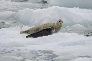 Portrait of a Seal and Pup Resting on an Ice Floe by Jeff Wildermuth