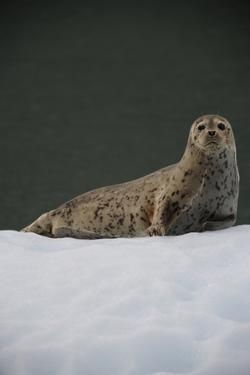 Portrait of a Seal Resting on an Ice Floe by Jeff Wildermuth