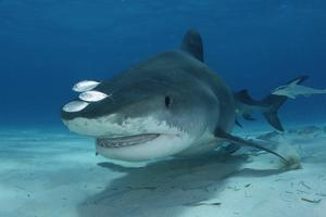 Remoras and Other Small Fish Swimming with a Tiger Shark, Galeocerdo Cuvier by Jeff Wildermuth
